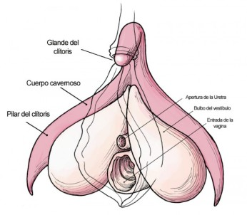 clitoris_anatomy_labeled-en-copia-630x550